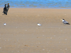 Fairy Tern with Caspian