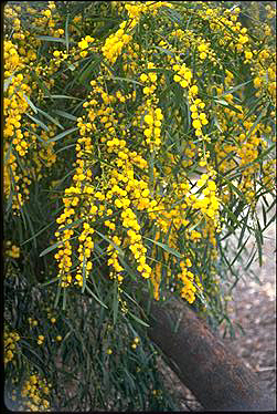 goldenwreathwattle